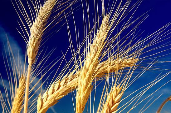 """Résultat de recherche d'images pour """"blé"""""""